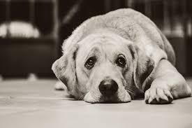 saddog pixabay