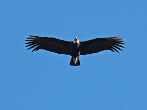 Condor by gustavo fernando
