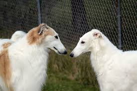flirting by ferlinka borzoi on flickr